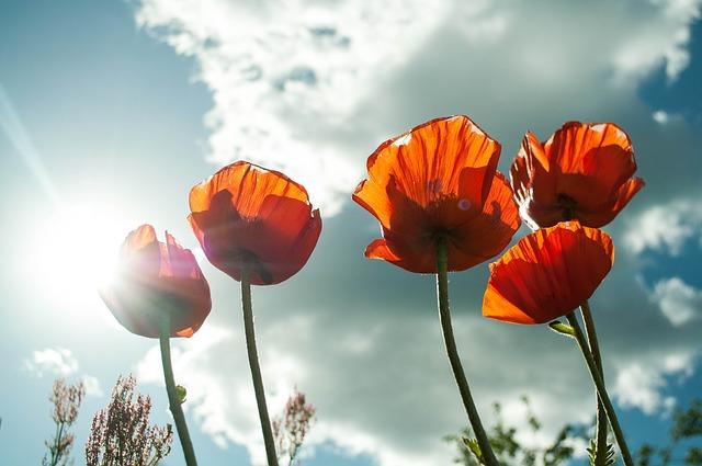 tulipámy